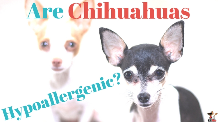 are chihuahua hypoallergenic are chihuahuas hypoallergenic chi pets 389