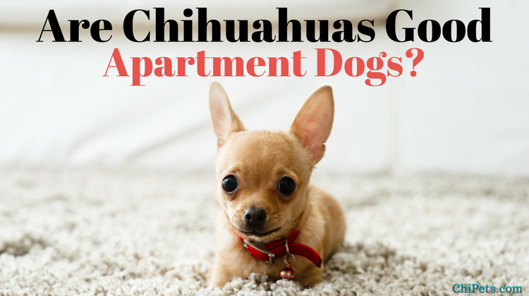 Are Chihuahuas Good Apartment Dogs