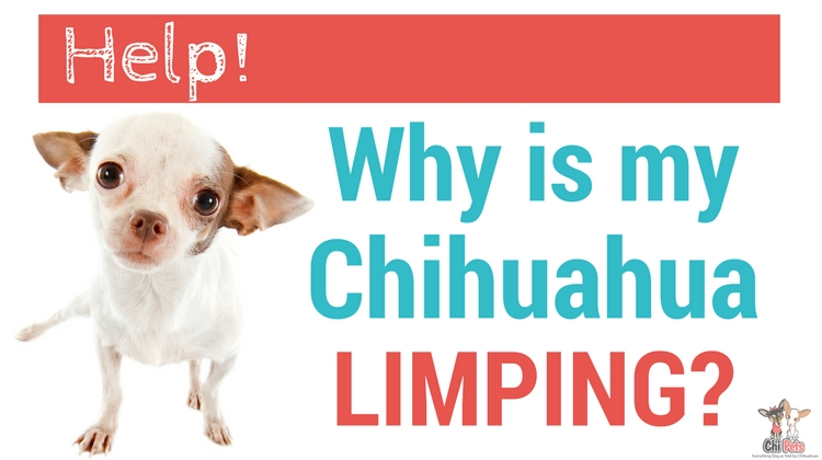 Help Why Is My Chihuahua Limping 5 Reasons Why Your Dog Is Limping