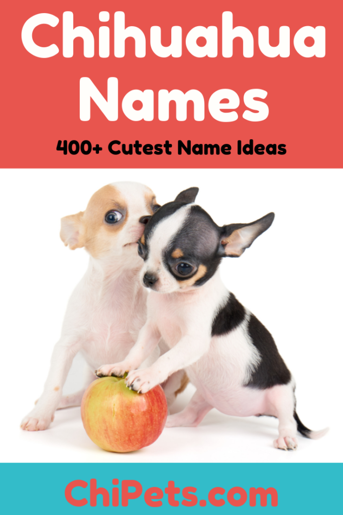 Cutest Female Chihuahua Names