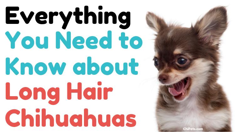 Long Hair Chihuahuas
